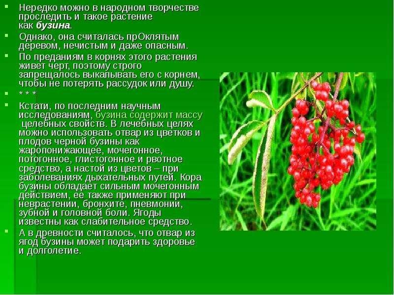Нередко можно в народном творчестве проследить и такое растение как бузина. Нередко можно в народном