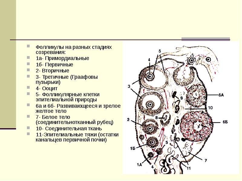 Фолликулы на разных стадиях созревания: 1а- Примордиальные 1б- Первичные 2- Вторичные 3- Третичные (