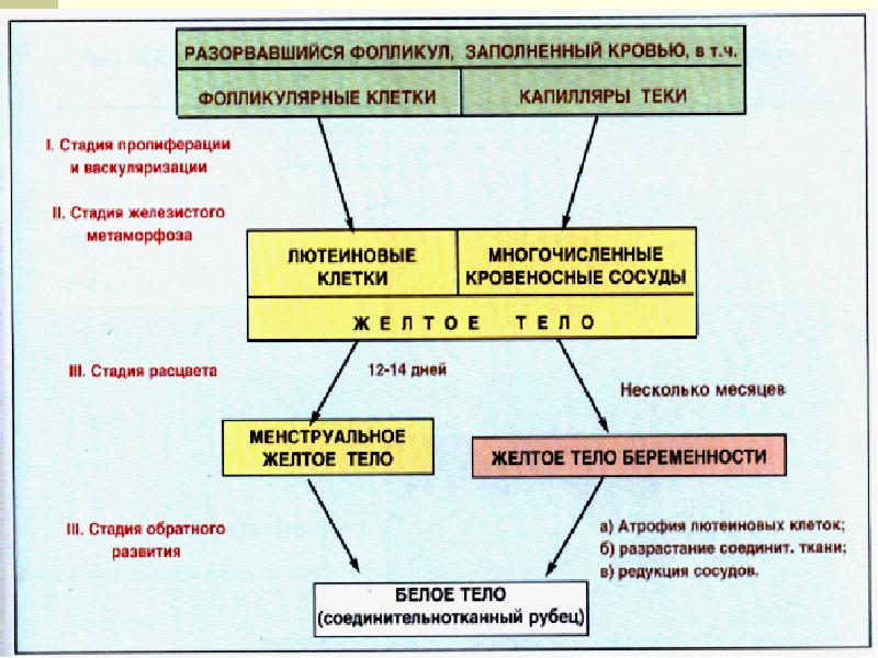Женская половая система. Гистология, слайд 15