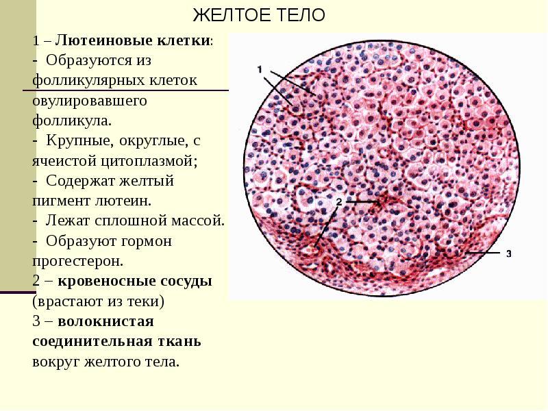 Женская половая система. Гистология, слайд 16