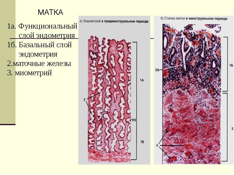 Женская половая система. Гистология, слайд 21