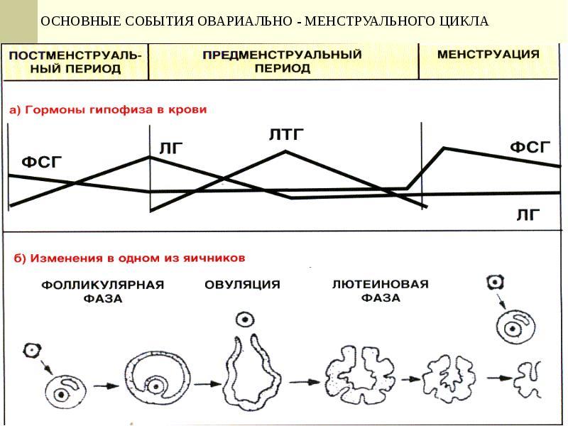 Женская половая система. Гистология, слайд 26