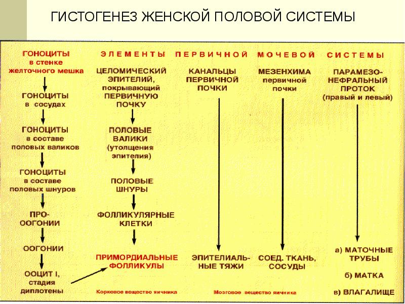 Женская половая система. Гистология, слайд 4