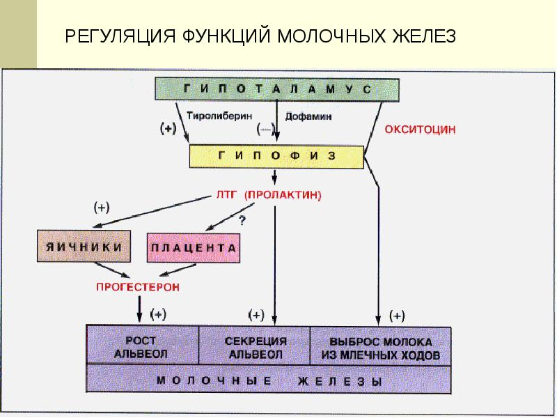 Женская половая система. Гистология, слайд 32