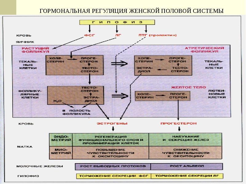 Женская половая система. Гистология, слайд 33