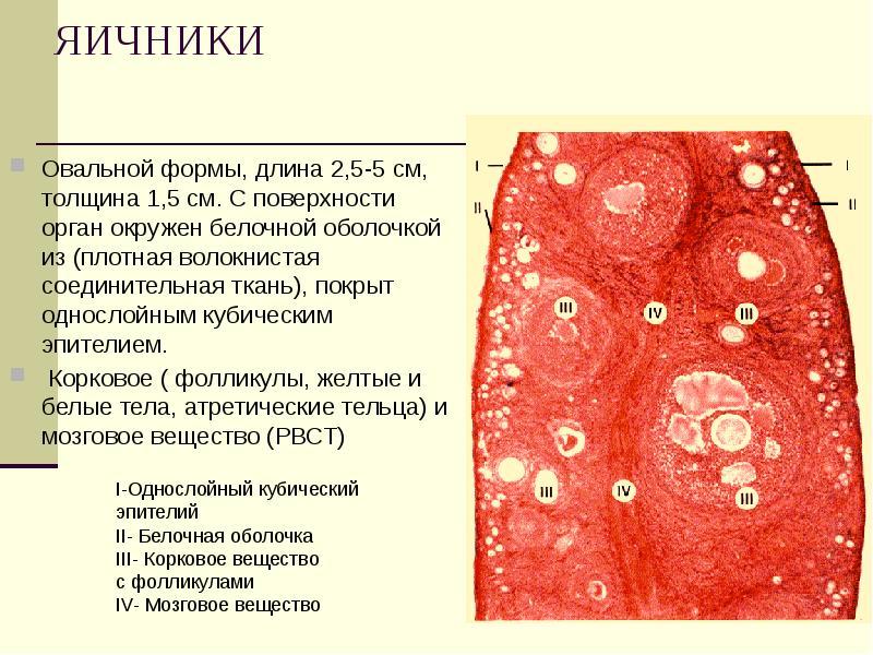ЯИЧНИКИ Овальной формы, длина 2,5-5 см, толщина 1,5 см. С поверхности орган окружен белочной оболочк