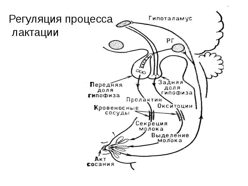 Физиология послеродового периода. Лактация. Грудное вскармливание. Контрацепция, слайд 22