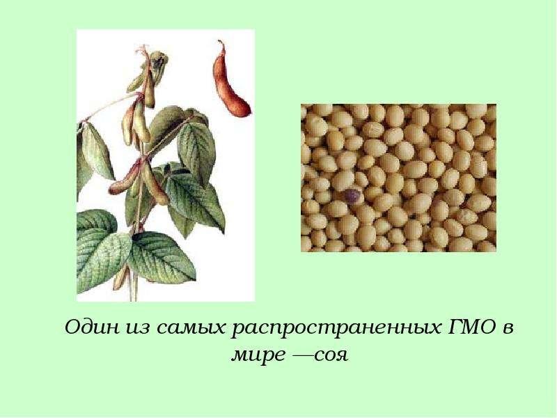 Один из самых распространенных ГМО в мире —соя Один из самых распространенных ГМО в мире —соя