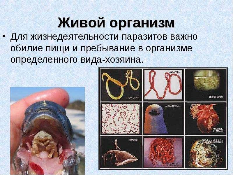 Живой организм Для жизнедеятельности паразитов важно обилие пищи и пребывание в организме определенн