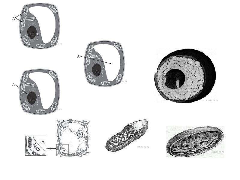 Клеточное строение организмов как доказательство их родства, единства живой природы, слайд 44