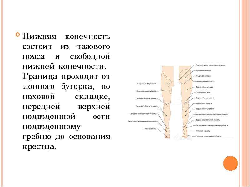 Нижняя конечность состоит из тазового пояса и свободной нижней конечности. Граница проходит от лонно