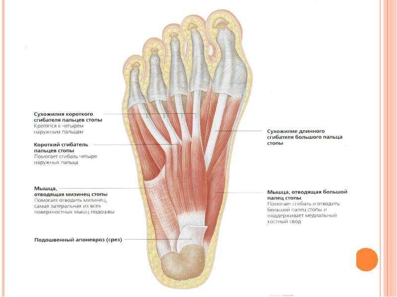 Топографическая анатомия нижней конечности, слайд 42