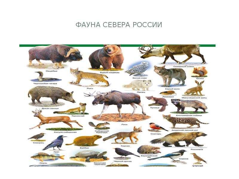 Фауна севера россии