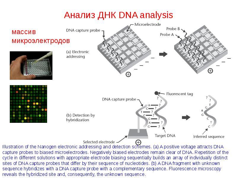 Анализ ДНК DNA analysis