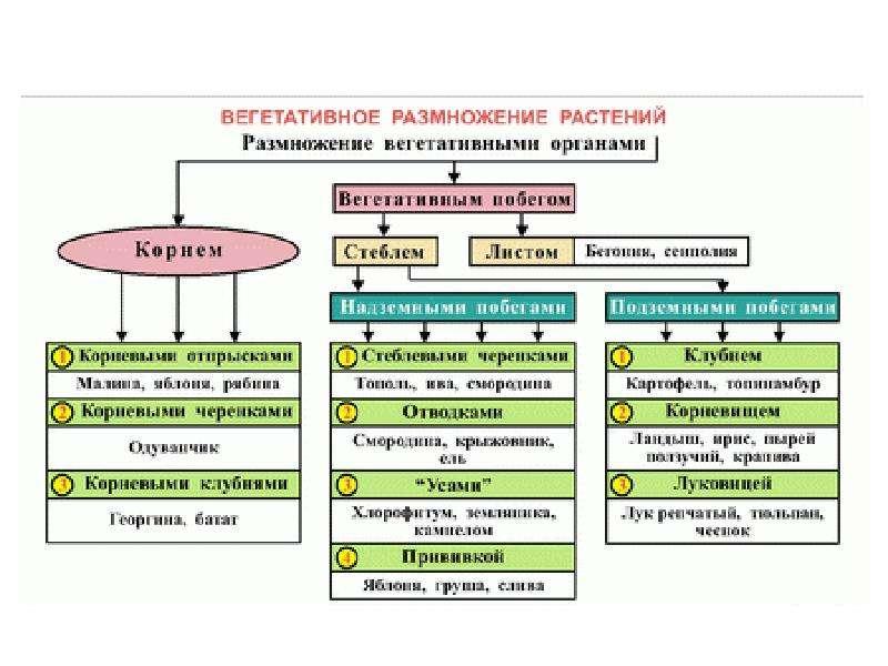 Размножение и индивидуальное развитие организмов. Бесполое и половое размножение, слайд 12