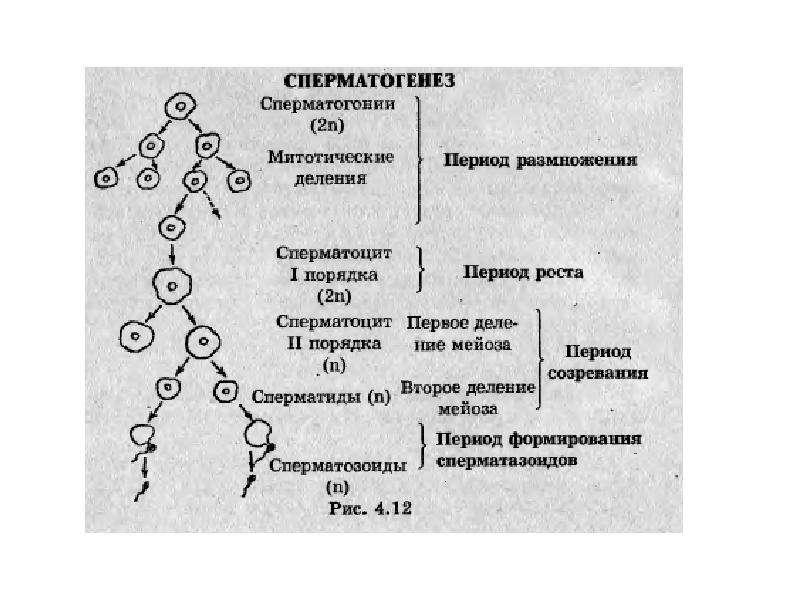 Размножение и индивидуальное развитие организмов. Бесполое и половое размножение, слайд 21