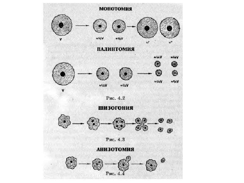 Размножение и индивидуальное развитие организмов. Бесполое и половое размножение, слайд 7