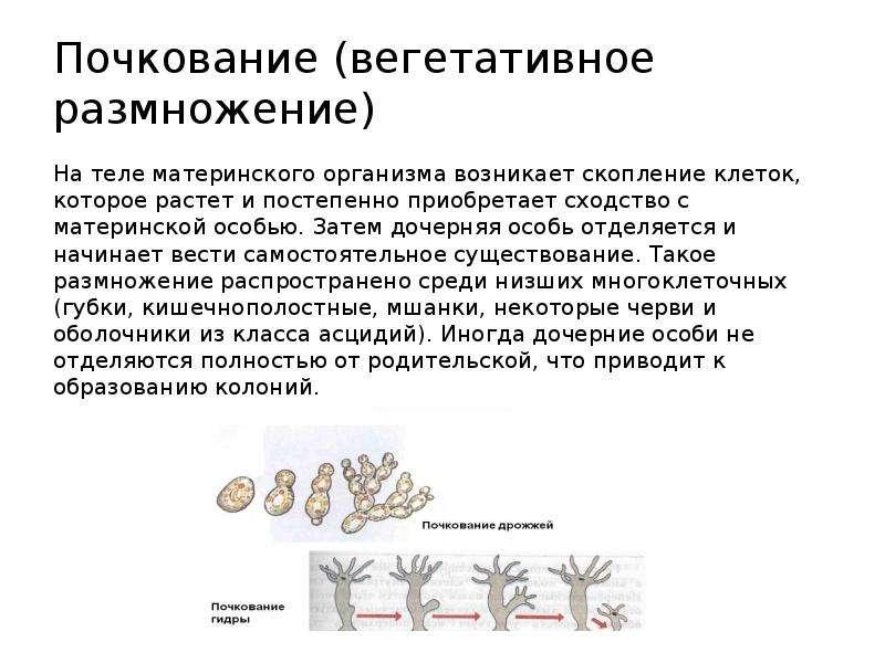 Почкование (вегетативное размножение) На теле материнского организма возникает скопление клеток, кот