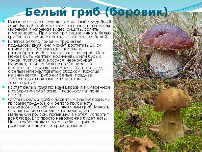 разновидности белого гриба фото и описание первый
