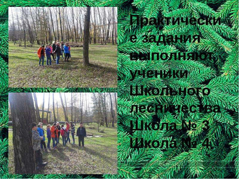 Практические задания выполняют ученики Школьного лесничества Школа № 3 Школа № 4