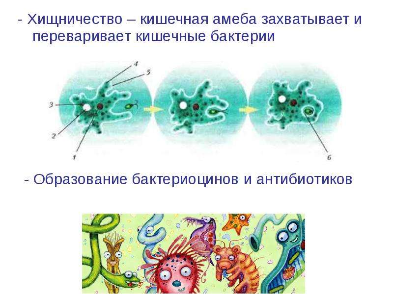 - Хищничество – кишечная амеба захватывает и переваривает кишечные бактерии - Хищничество – кишечная