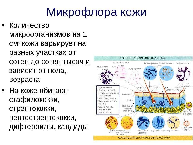 Микрофлора кожи Количество микроорганизмов на 1 см2 кожи варьирует на разных участках от сотен до со