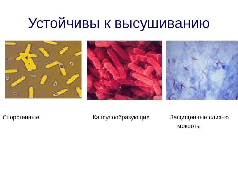 Устойчивы к высушиванию Спорогенные Капсулообразующие Защищенные слизью мокроты