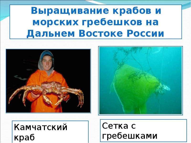 Выращивание крабов и морских гребешков на Дальнем Востоке России