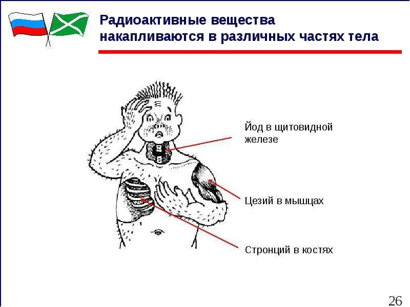 Радиоактивные вещества накапливаются в различных частях тела