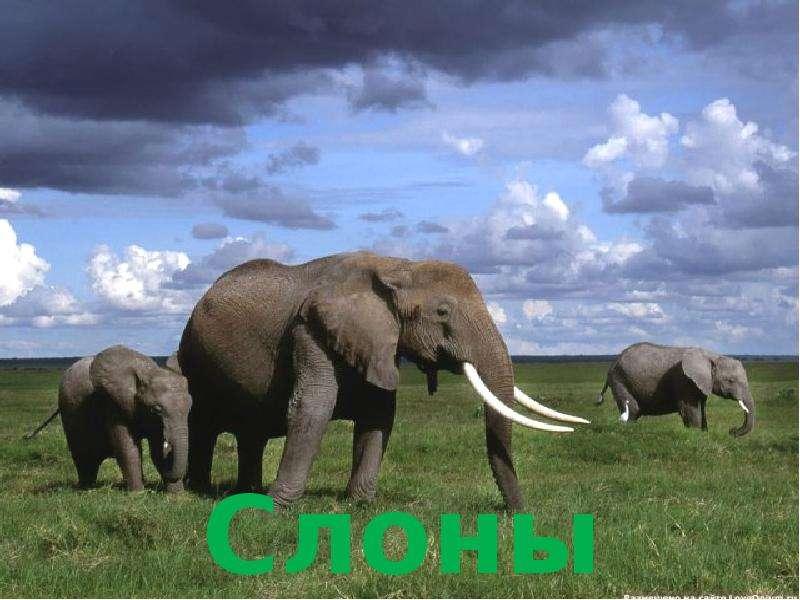 Крупные наземные животные слоны, слайд 2
