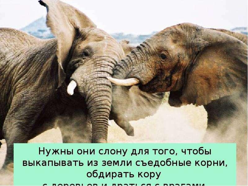 Крупные наземные животные слоны, слайд 12