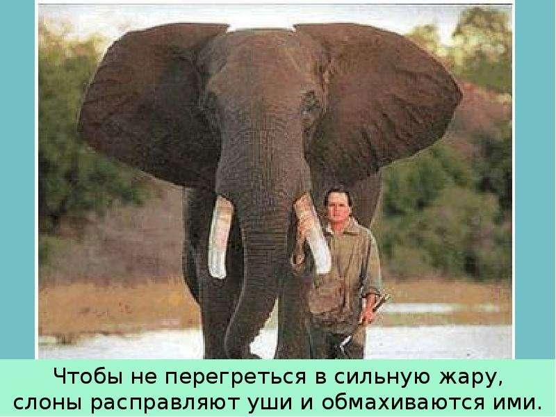 Крупные наземные животные слоны, слайд 13