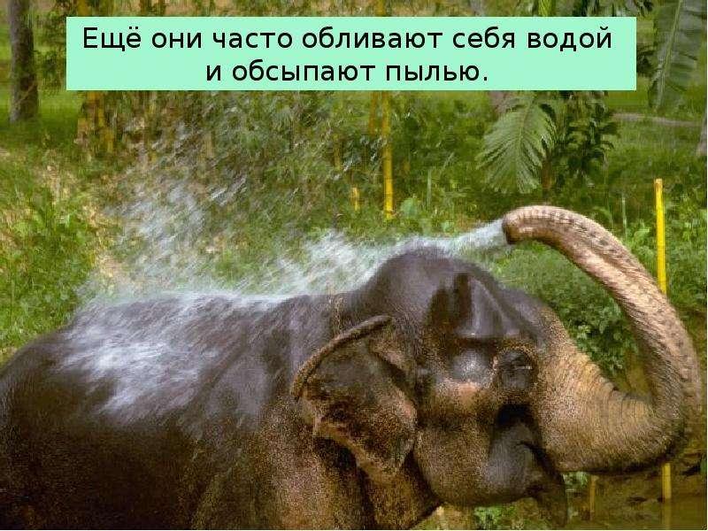 Крупные наземные животные слоны, слайд 14