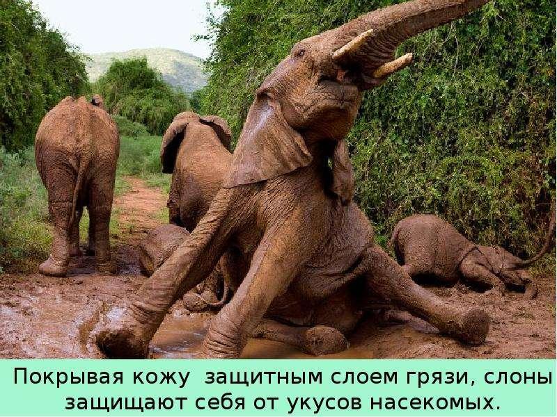 Крупные наземные животные слоны, слайд 15