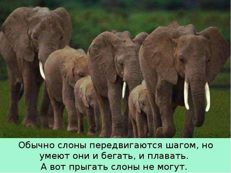 Крупные наземные животные слоны, слайд 16