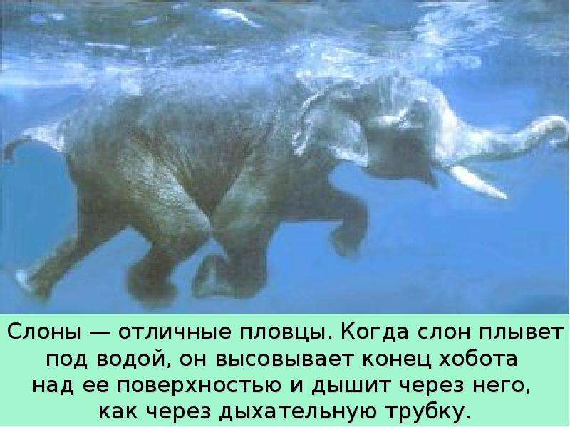 Крупные наземные животные слоны, слайд 17