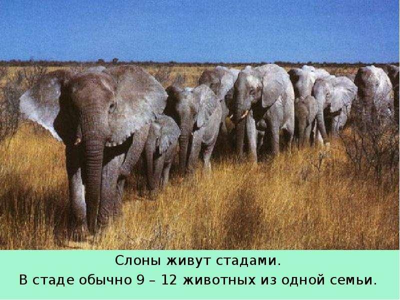 Слоны живут стадами. Слоны живут стадами. В стаде обычно 9 – 12 животных из одной семьи.