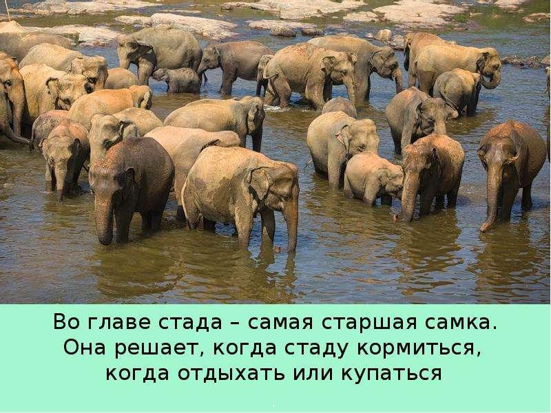 Крупные наземные животные слоны, слайд 19