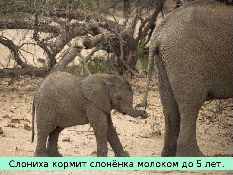 Крупные наземные животные слоны, слайд 20