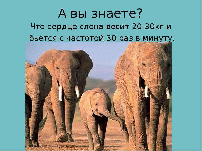 А вы знаете? Что сердце слона весит 20-30кг и бьётся с частотой 30 раз в минуту.
