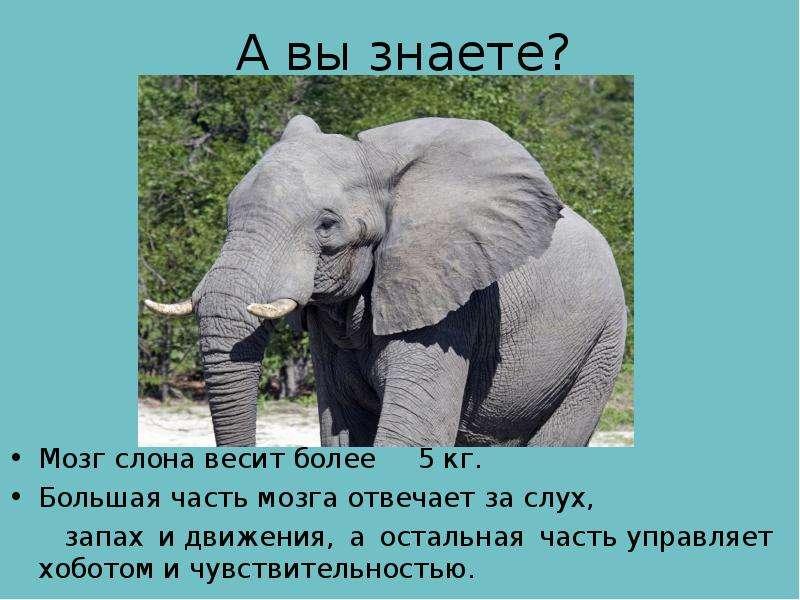 А вы знаете? Мозг слона весит более 5 кг. Большая часть мозга отвечает за слух, запах и движения, а