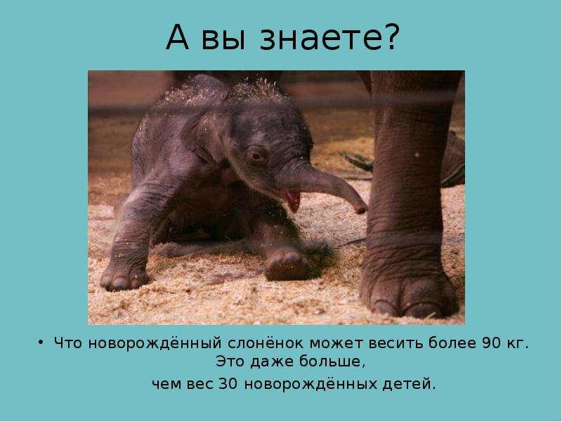 А вы знаете? Что новорождённый слонёнок может весить более 90 кг. Это даже больше, чем вес 30 новоро
