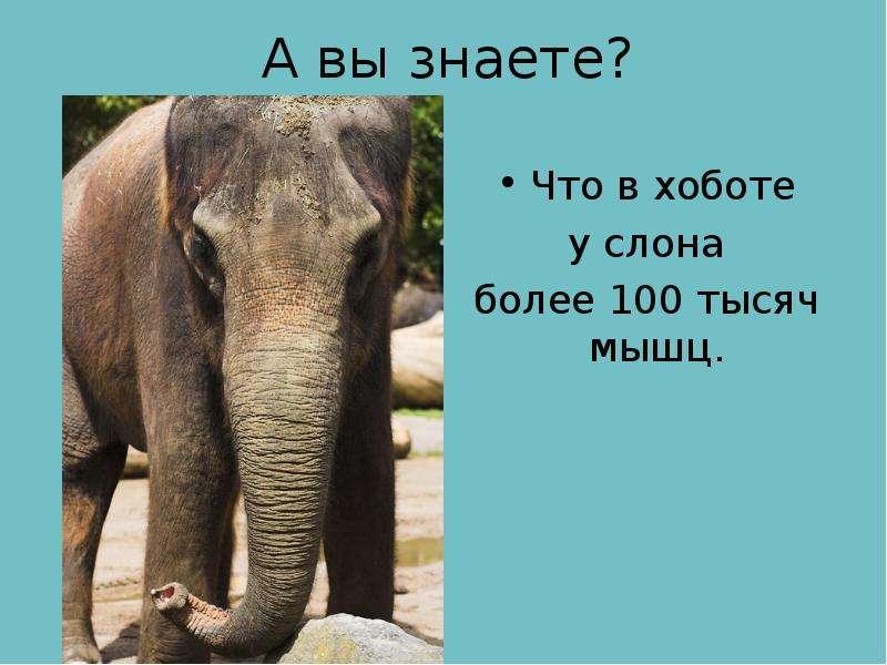 А вы знаете? Что в хоботе у слона более 100 тысяч мышц.