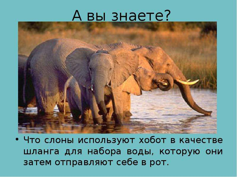 А вы знаете? Что слоны используют хобот в качестве шланга для набора воды, которую они затем отправл