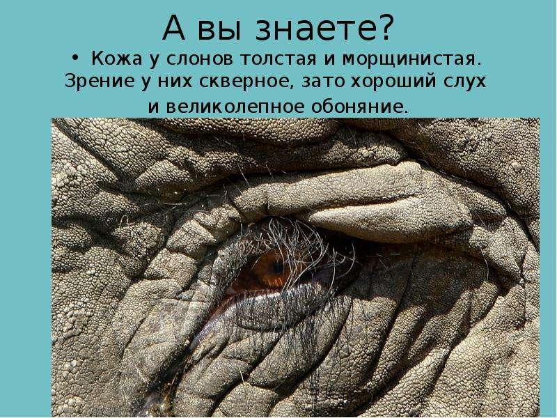 А вы знаете? Кожа у слонов толстая и морщинистая. Зрение у них скверное, зато хороший слух и великол