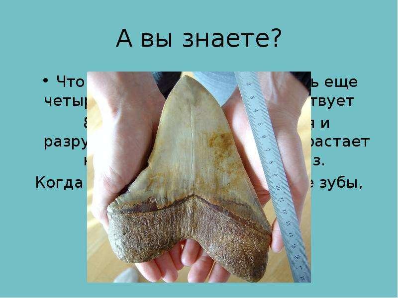 А вы знаете? Что кроме бивней у слонов есть еще четыре зуба. Каждый зуб существует 8-10 лет, затем с