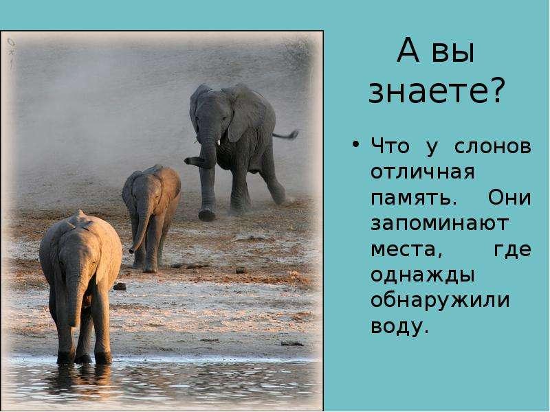 А вы знаете? Что у слонов отличная память. Они запоминают места, где однажды обнаружили воду.