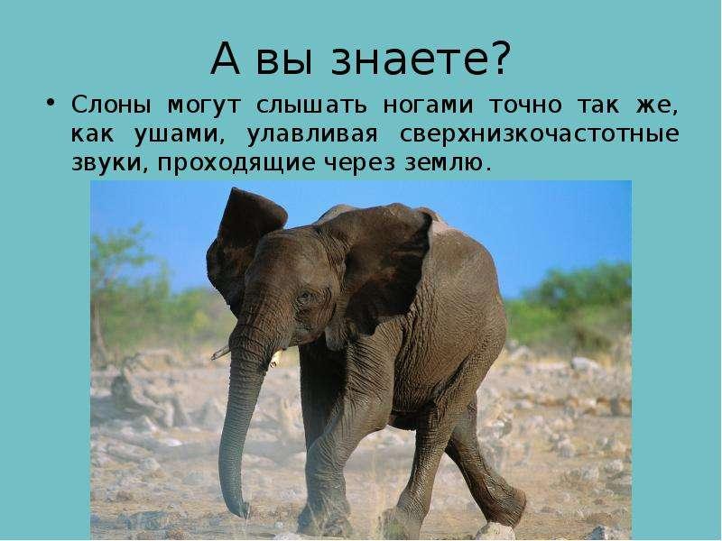 А вы знаете? Слоны могут слышать ногами точно так же, как ушами, улавливая сверхнизкочастотные звуки