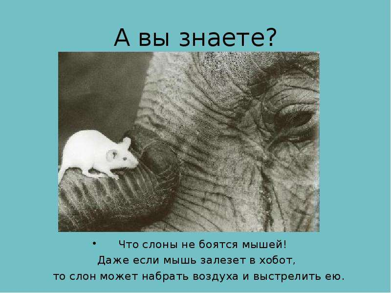 А вы знаете? Что слоны не боятся мышей! Даже если мышь залезет в хобот, то слон может набрать воздух