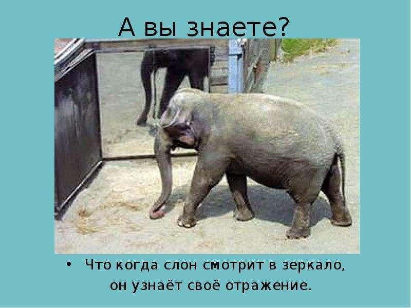 А вы знаете? Что когда слон смотрит в зеркало, он узнаёт своё отражение.